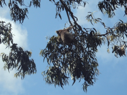koala great ocean road -